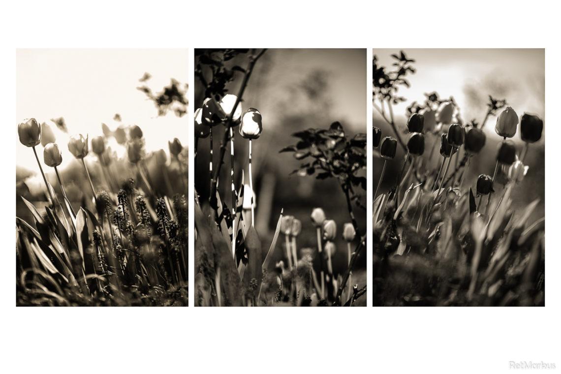 Dans la fraîcheur matutinale, le vent pousse les tulipes vers la droite de la droite. À l'abri du vent, la posture de la tulipe est médiane. L'idéal, c'est de pousser droit vers le haut. À un autre endroit du jardin monde, les fantômes de Karl et Friedrich se disent qu'il y a comme un spectre qui hante les tulipes. Et que ce n'est pas celui qu'ils annonçaient…